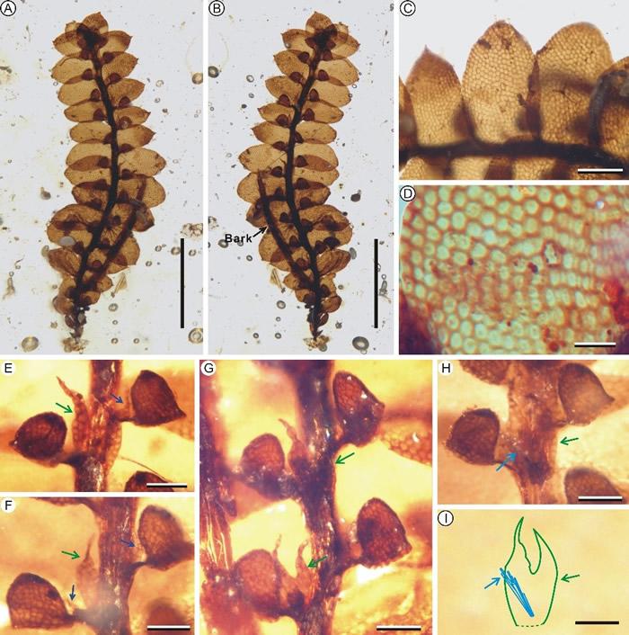 缅甸克钦邦白垩纪琥珀中的深裂耳叶苔。绿色箭头指示腹叶;蓝色箭头指示附体;青色箭头指示假根。