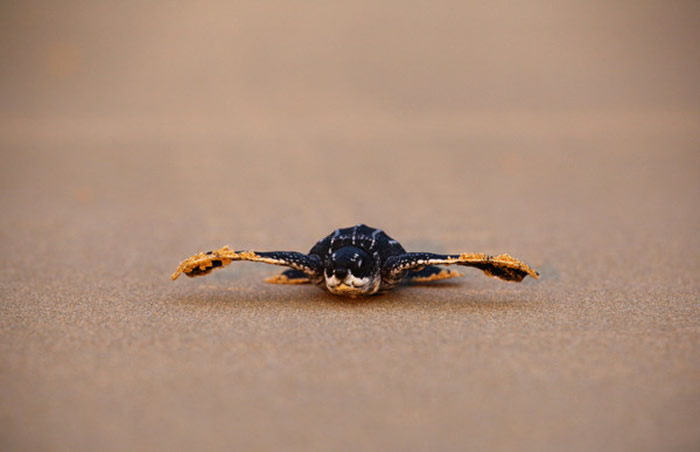 泰国南部攀牙湾国家公园从去年11月至今已发现11个稀有的棱皮龟巢