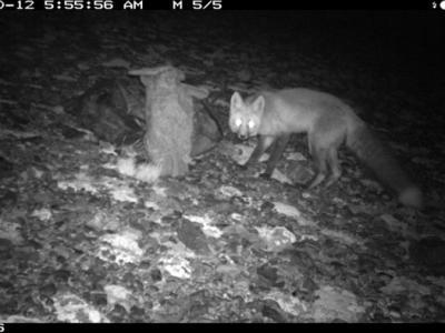 罕见内华达山脉红狐狸在尤塞米提国家公园被步道相机拍到