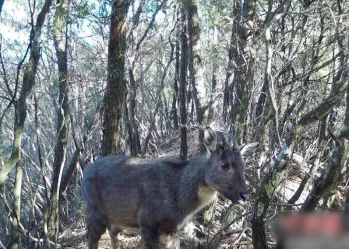 浙江省台州市仙居县括苍山省级自然保护区发现珍稀濒危野生动物中华斑羚