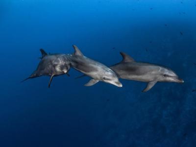 研究发现野生海豚像人类一样有大胆或害羞的性格
