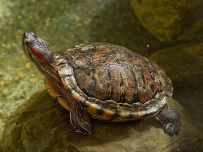 乌龟如何利用温度去决定性别?
