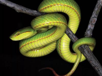 印度发现的新品种绿蝮蛇以《哈利波特》斯莱特林的名字命名――Tr