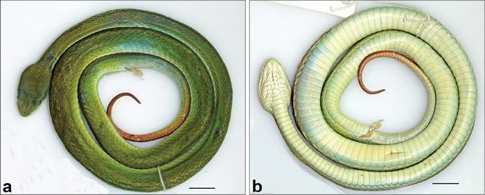 印度发现的新品种绿蝮蛇以《哈利波特》斯莱特林的名字命名——Trimeresurus salazar