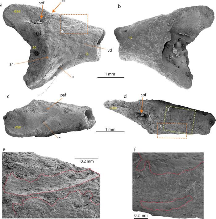 """南极洲发现首个现存蛙类的化石 属于""""头盔蛙""""科"""