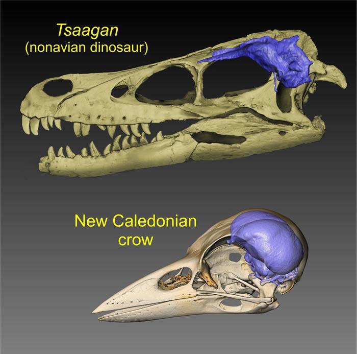 《当代生物学》:研究显示白垩纪末大灭绝之前鸟类和非鸟类恐龙的相对脑容量相似