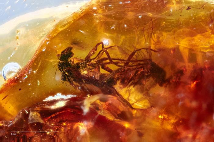 澳洲4000多万年琥珀中包裹着2只正在交配中的长足苍蝇