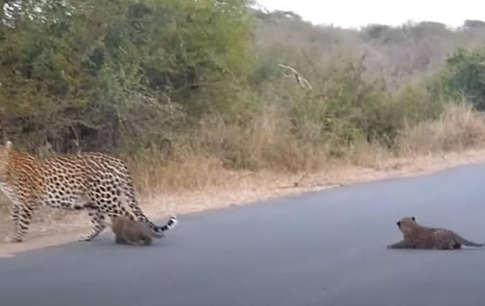 南非克留格尔国家公园花豹宝宝过马路时忽然趴下不动 豹妈妈赶紧回头引导