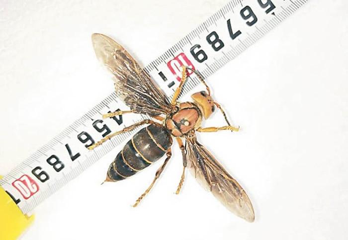 """俗称""""杀人蜂""""的大虎头蜂出没北美危及蜜蜂 昆虫学家拟捕杀"""