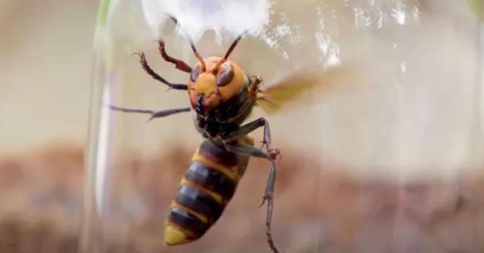 """入侵美国的亚洲""""杀人大黄蜂""""在日本被视为美味佳肴"""