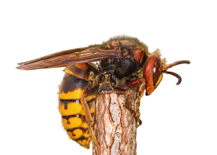 """""""杀人蜂""""大虎头蜂一分钟螫死老鼠 毒刺可持续播毒"""