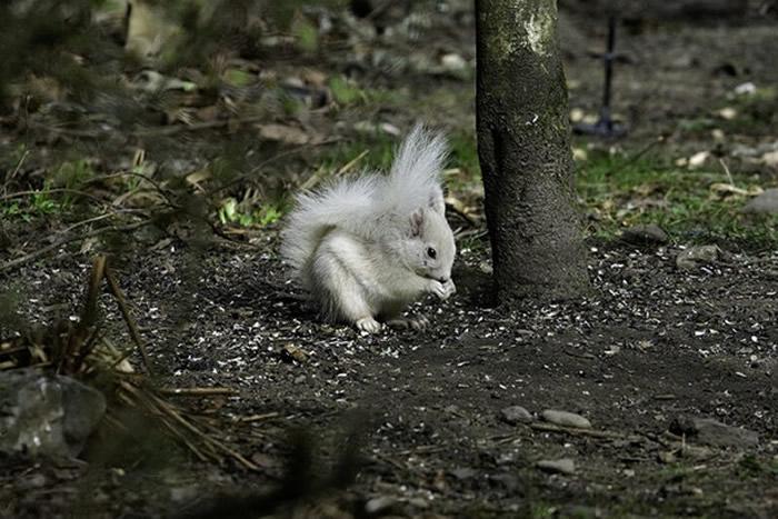 英国珀斯郡公园发现一只全身白色的红松鼠
