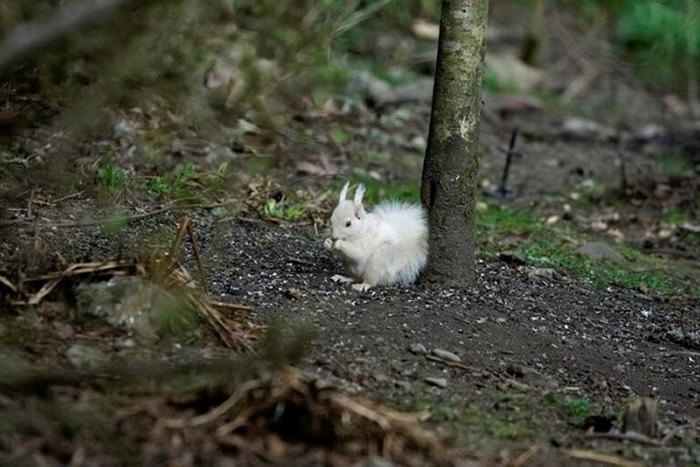 白变症红松鼠除了毛色以外,其他和普通红松鼠没两样。(图/翻摄自Facebook/Saving Scotland`s Red Squirrels)