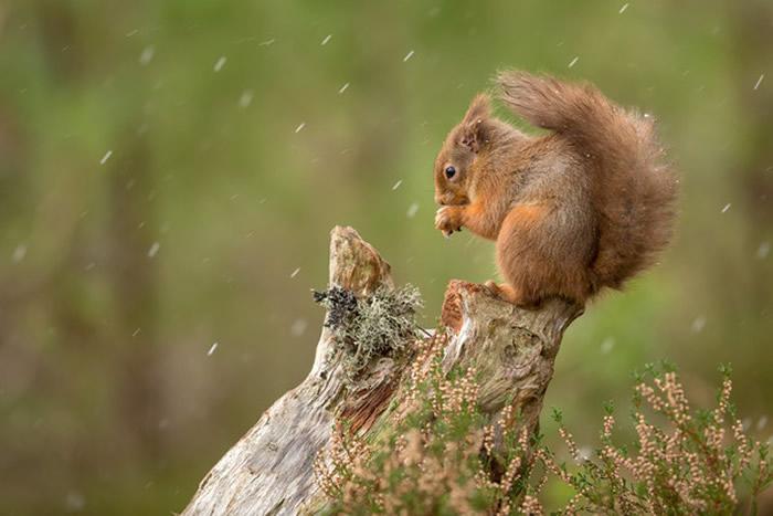 一般红松鼠。(图/翻摄自Facebook/Saving Scotland`s Red Squirrels)