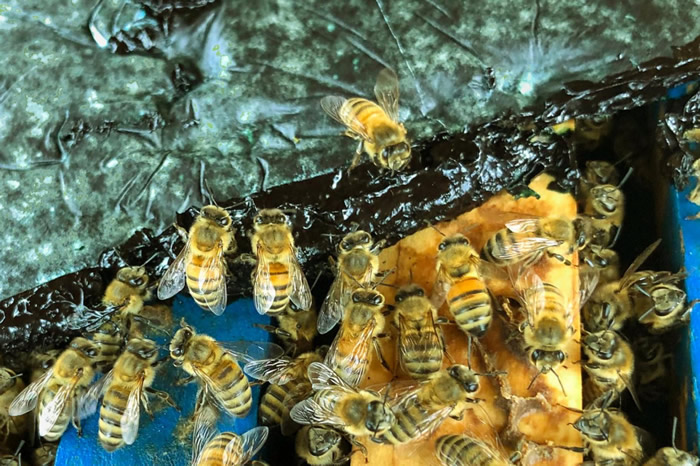 《Adipologie》:最新研究发现微藻可能是一种特别好的的蜜蜂补充饲料
