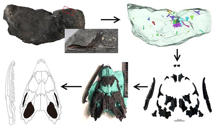 侏儒黑山龙(Heishanosaurus pygmaeus)形态学研究的方法流程(董丽萍供图)