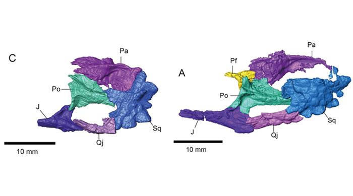 侏儒黑山龙(Heishanosaurus pygmaeus)(左图)和侏罗青龙(Coeruleodraco jurassicus)(右图)的颞区骨骼侧面观(董丽