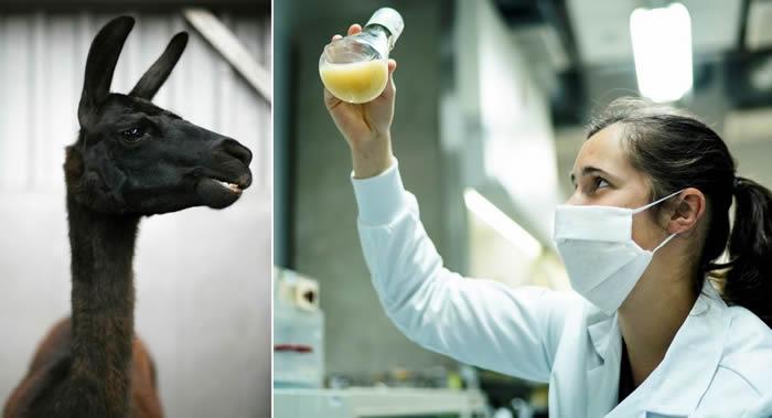 《细胞》(Cell)期刊:科学家在羊驼的血液中发现冠状病毒抗体