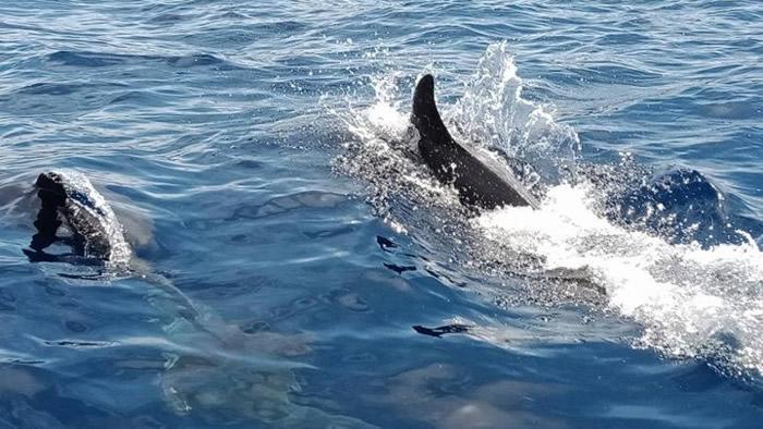 泰国攀牙府西米兰群岛附近发现约50条宽吻海豚