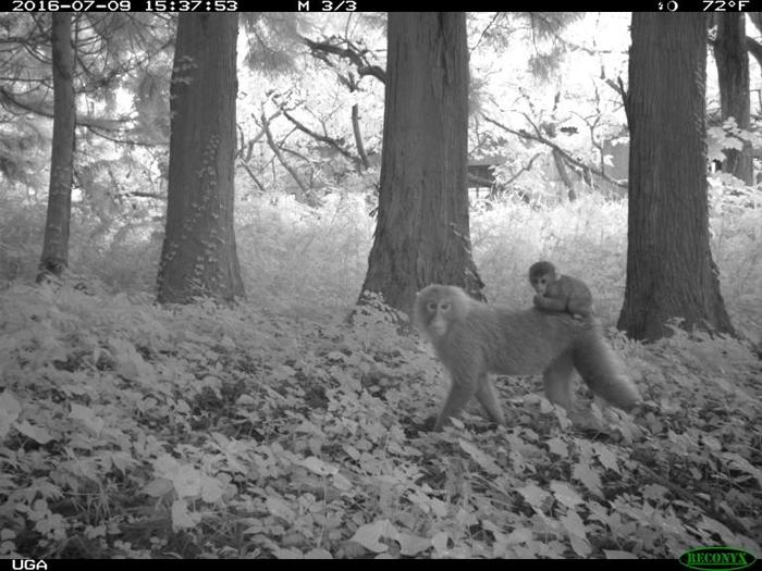 日本猕猴在福岛禁区周围区域的数量最多;辐射浓度似乎没有影响它们的栖息数量。 PHOTOGRAPH BY JIM BEASLEY