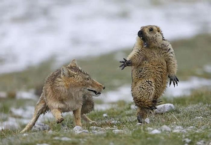 中国摄影师鲍永清拍下土拨鼠被狐狸吓到的照片获奖 土拨鼠最后仍被狐狸吃掉了