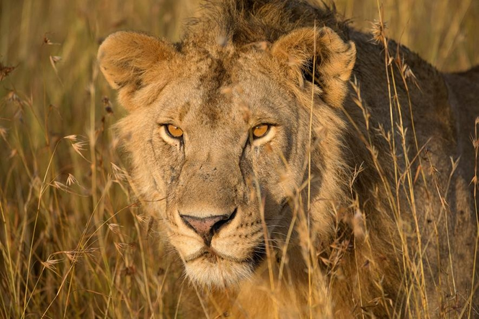 在坦桑尼亚的晨辉下,一头非洲狮穿过高高的草丛。 PHOTOGRAPH BY MELISSA GROO, NAT GEO IMAGE COLLECTION