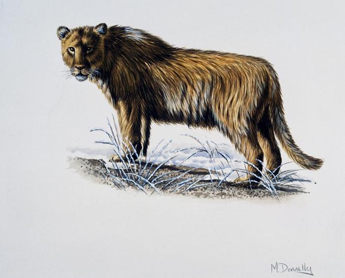 已灭绝的穴狮可能没有鬃毛,也许这正是非洲狮对它们兴趣缺缺的原因。 PHOTOGRAPH BY DEAGOSTINI, GETTY/ARTWORK BY MIKE