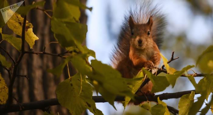 俄罗斯莫斯科各大公园和自然区域的松鼠数量近十年出现增长