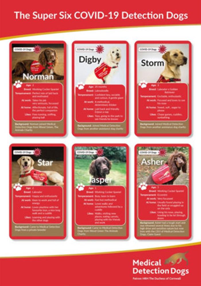 """英国开始实验训练""""嗅探犬""""闻出谁是新冠病毒的感染者 锁定拉布拉多犬和可卡犬"""