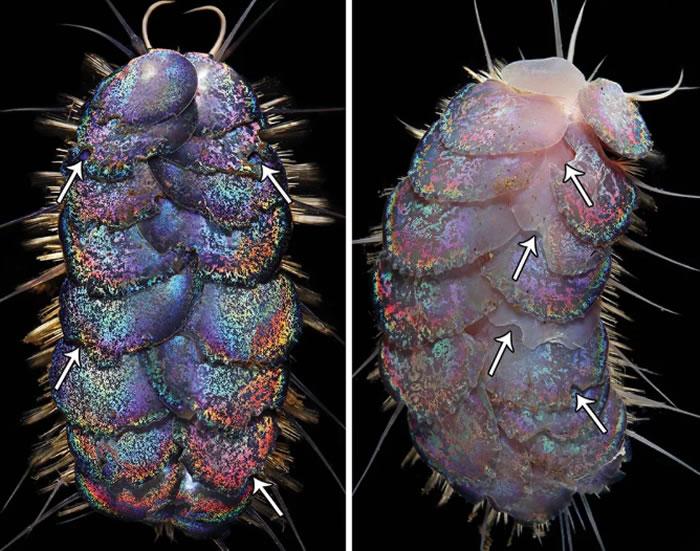 《ZooKeys》杂志:论文中描述四种新发现的五彩斑斓的深海鳞片蠕虫