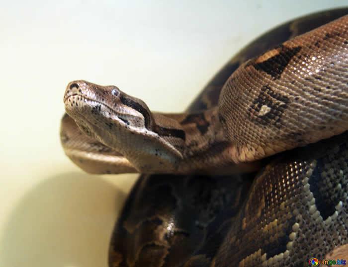 蟒蛇不可思议的新陈代谢引发研究人员兴趣