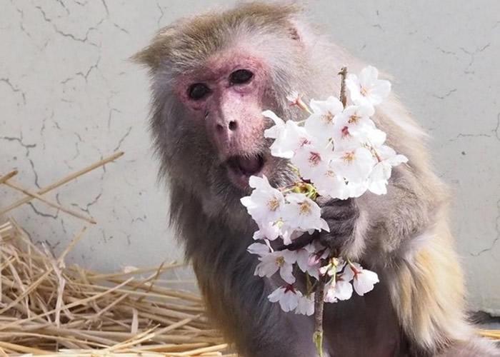 """日本京都市动物园雌性猕猴""""勤子""""迎来42岁生"""