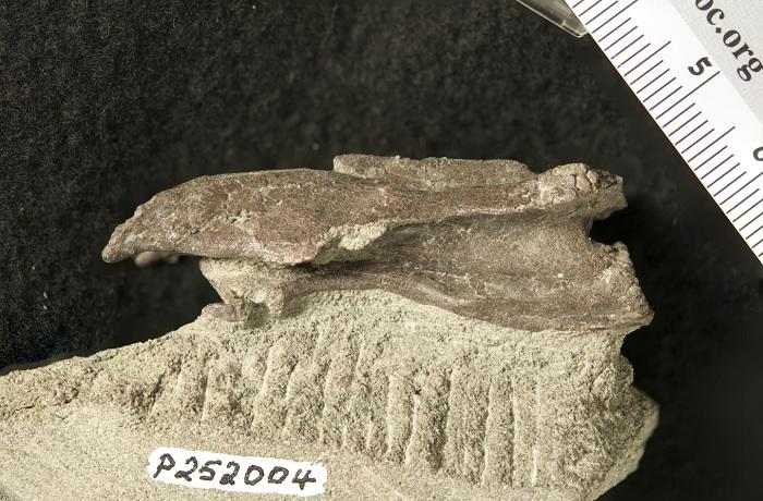 """澳大利亚发现恐龙新物种:长脖子、无牙齿的霸王龙表亲""""Era the Elaphrosaur"""""""