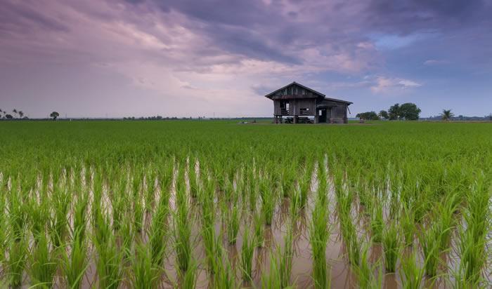 """《自然·植物》杂志:水稻传播的关键""""触发因素""""是公元前12世纪发生的气候灾难"""