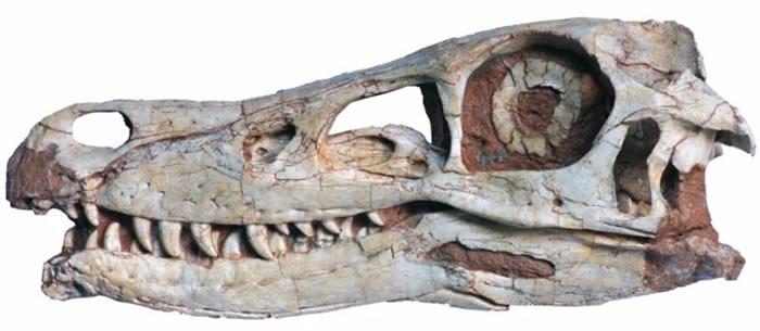 精美临河盗龙的头骨化石(来源:IVPP)
