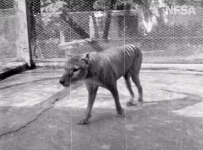 澳大利亚档案学家发现已知的最后一段关于已经绝迹的塔斯马尼亚虎(袋狼)的视频