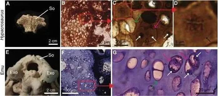 亚冠龙幼体软骨化石中的疑似DNA大分子痕迹