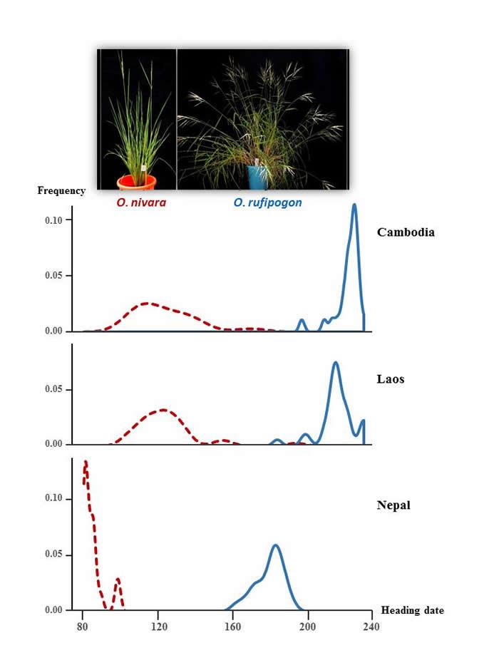 研究发现花期隔离是野生稻种间生殖隔离的决定因素