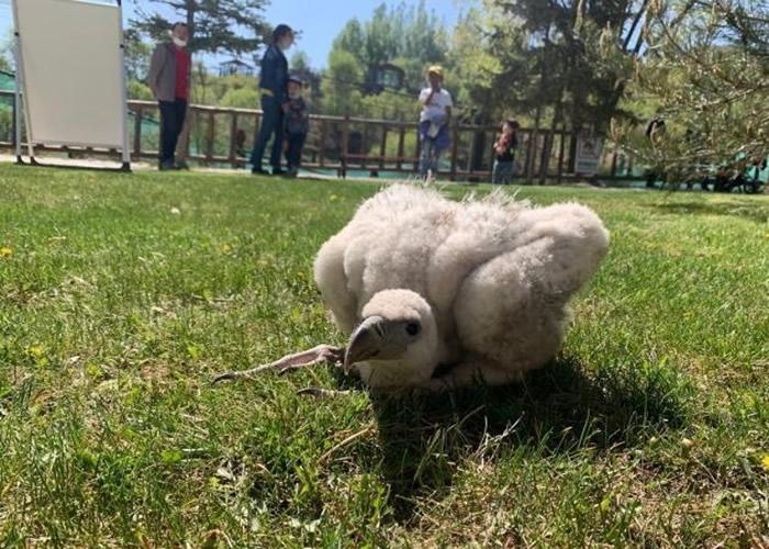 青海西宁野生动物园最新繁育出两只高山兀鹫