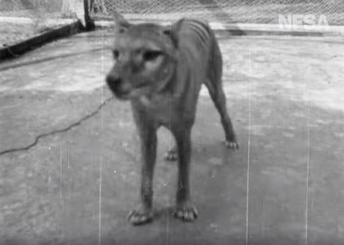 世界上最后一只塔斯马尼亚虎(袋狼)本杰明影像曝光 1935年在澳洲博马里斯动物园拍摄