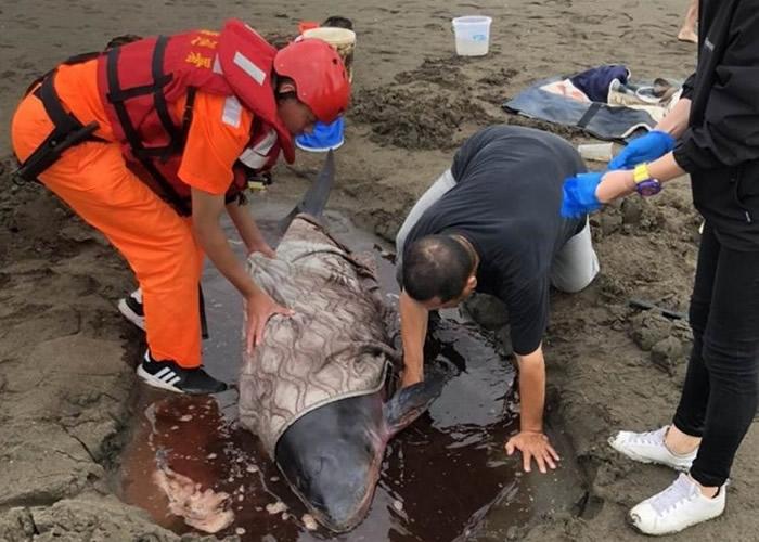 台湾桃园市观音海水浴场附近沙滩上发现搁浅小抹香鲸