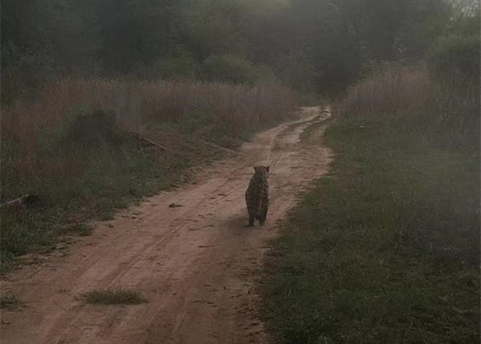 陕西省旬邑县近距离拍到极为罕见的国家一级重点保护哺乳动物金钱豹照片