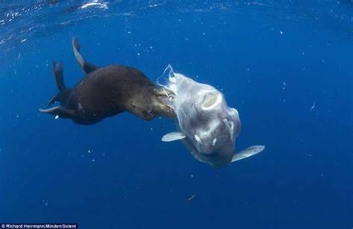 美国加州圣地牙哥外海翻车鱼被海狮硬生生吃掉一大块