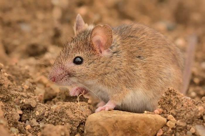 """14500年前出现在地球上的小家鼠""""侵占""""欧洲的时间比以前想象的要晚得多"""