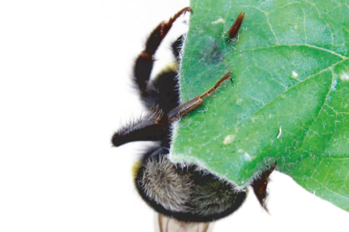 当植物花粉稀缺时 熊蜂会咬啮树叶促使植物加速开花