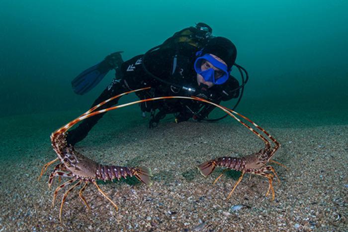 研究发现欧洲棘刺龙虾发出的触角刮擦声能在水下3000米之外探测到