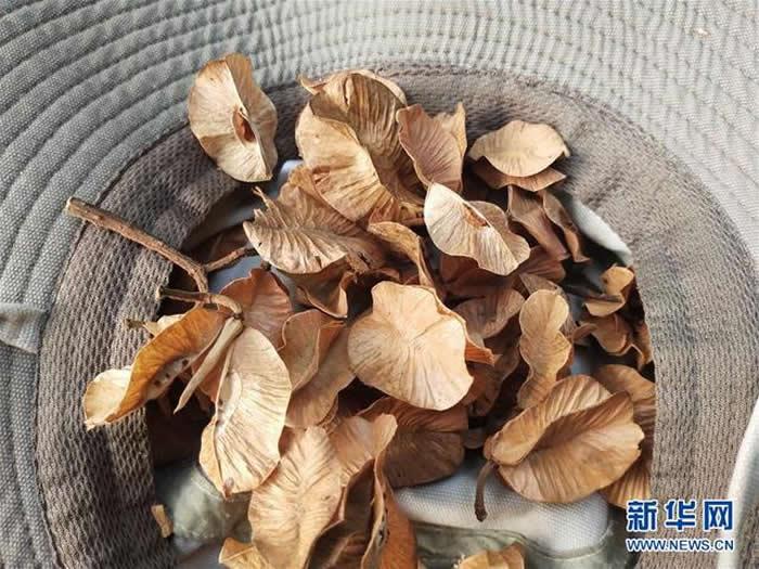 云南高黎贡山国家级自然保护区保山段发现珍稀濒危植物滇桐野生居群