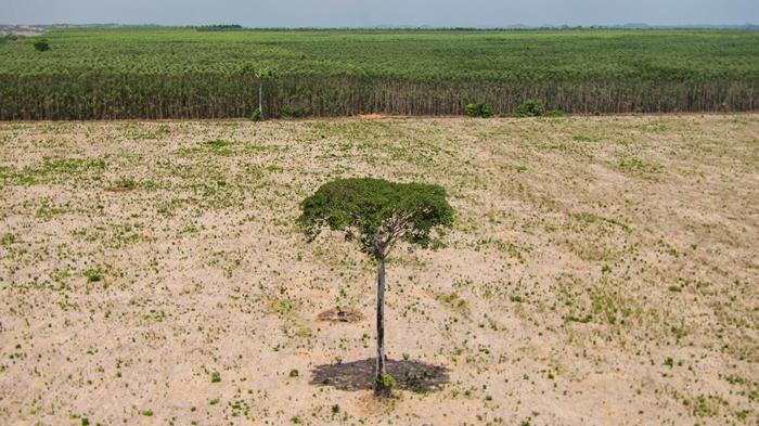 亚马逊雨林东北边缘、巴西的马拉尼昂(Maranhão)地区,一棵孤零零的硬木树,在整片的森林砍伐中逃过一劫。 PHOTOGRAPH BY CHAR