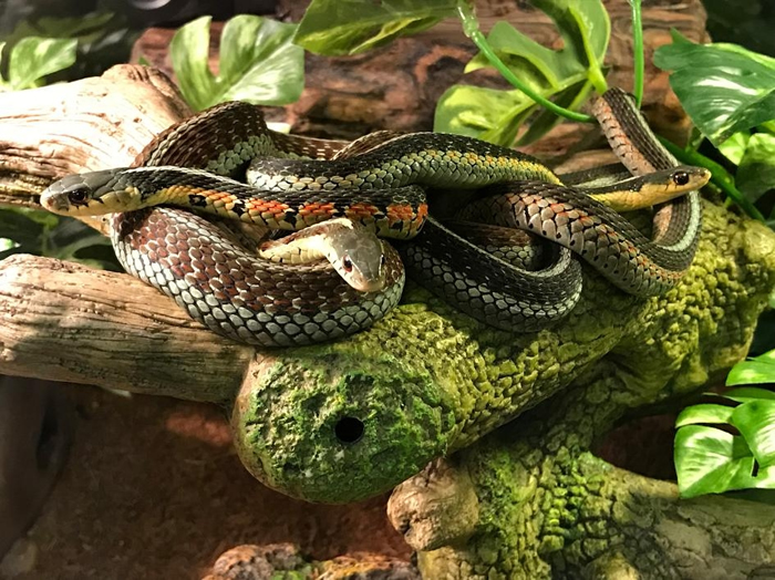 东部袜带蛇会聚在一起,这是一种保持温暖及防御掠食者的策略。 PHOTOGRAPH BY TOM GANTERT