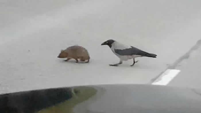 乌鸦帮助刺猬过马路